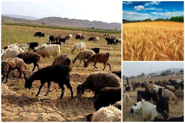 مزارع گندم خوراک دام شد/ گندمی که برای کشاورزان نان نشد