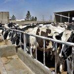 میزان تولید شیر گاو ۱۰ درصد افزایش یافت