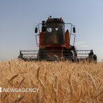 امسال ۴۷۵ هزار تن گندم در آذربایجانشرقی برداشت میشود