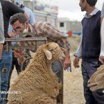 سیکل مشکلات دامداران خراسان شمالی/ از گرانی نهاده تا خشکسالی