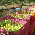 سیبی وجود ندارد تا در برابر واردات موز صادر شود