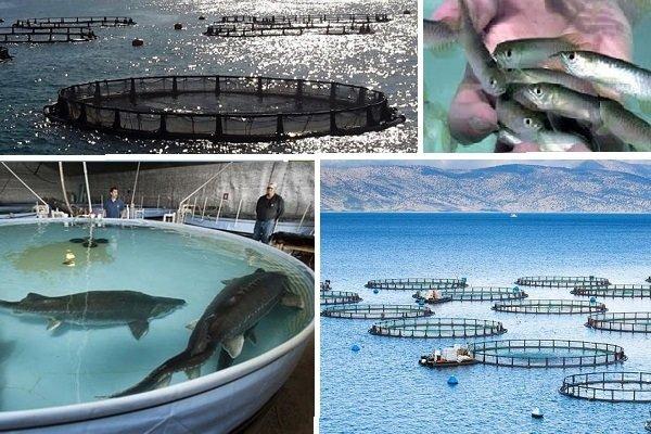 ظرفیت پرورش ۳۵۰ هزار تن میگو و ماهی در آب های ساحلی کشور